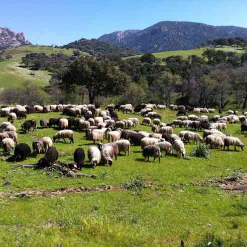 Corsican dairy sheep on pasture