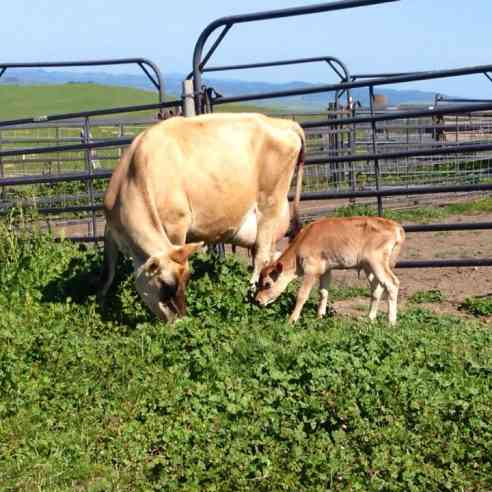 cow with calf in pasture in May at Marshall Home Ranch