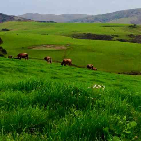 cows grazing on pasture at Marshall Home Ranch